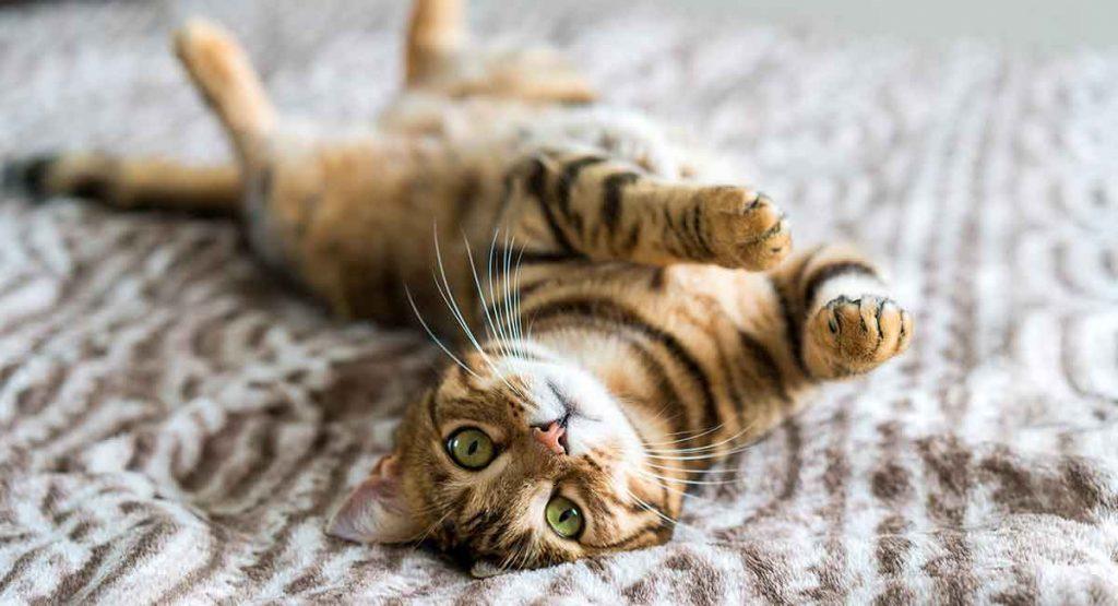 Kaķu šķirnes - Bengālijas kaķis