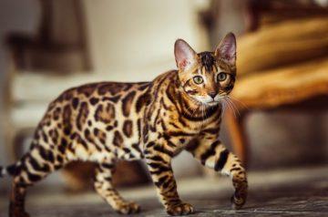 Bengālijas kaķis