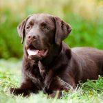 Labradors retrīvers
