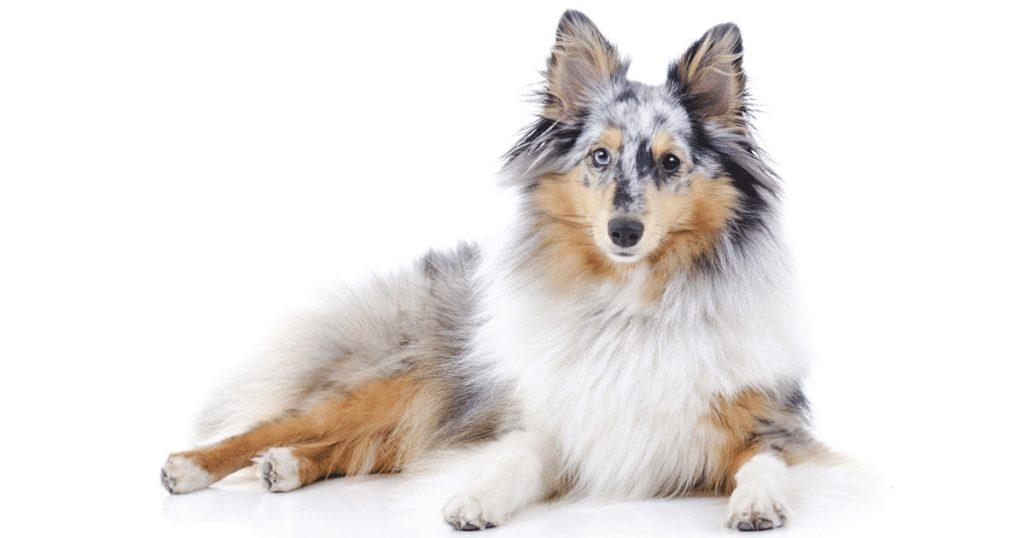 Šetlandas aitu suns