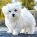 Maltas zīda suns